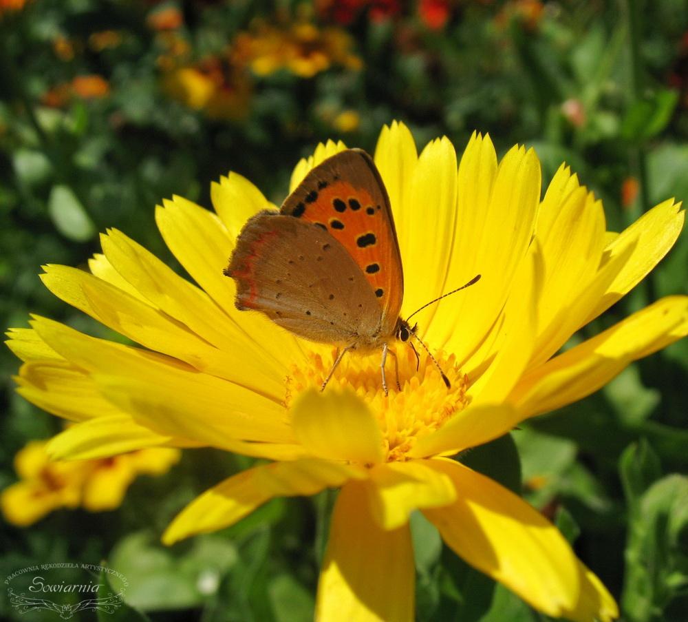 lipcowy motyl