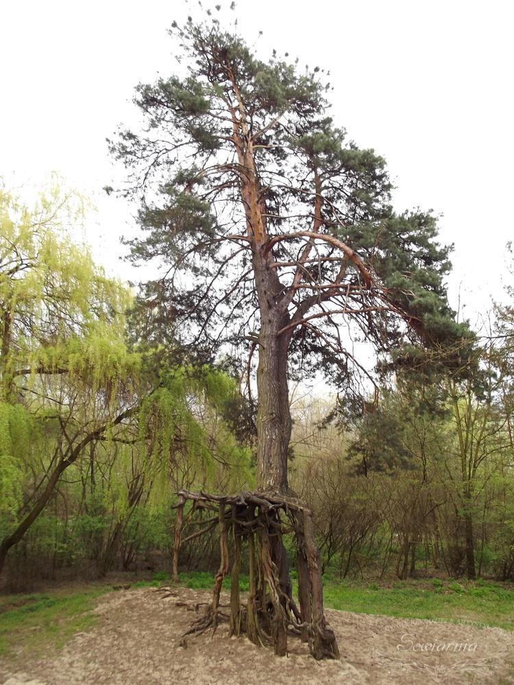 pomnik przyrody - sosna