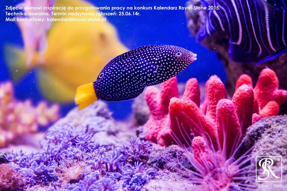 royal stone ryba