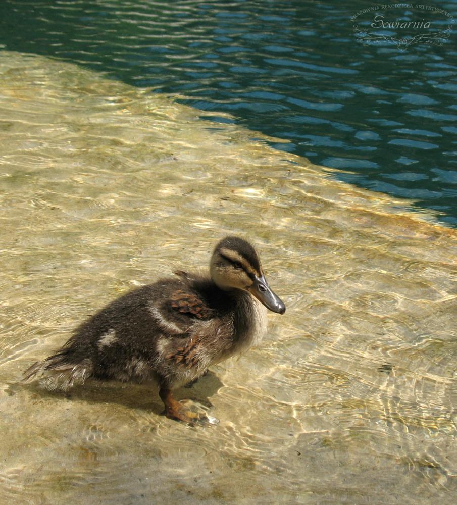 kaczuszka w jeziorze