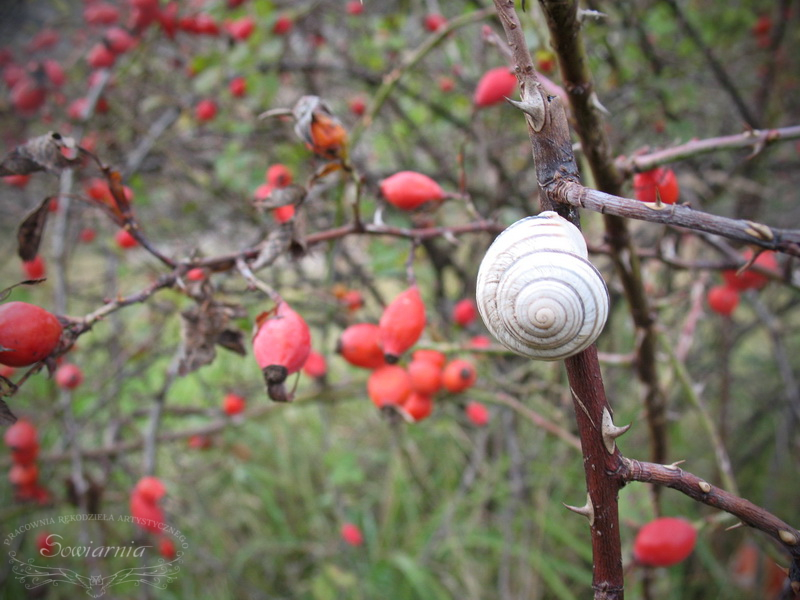 ślimak i dzika róża