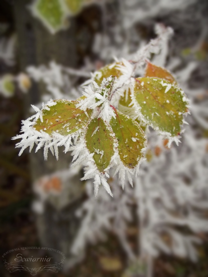 oszrononie liście