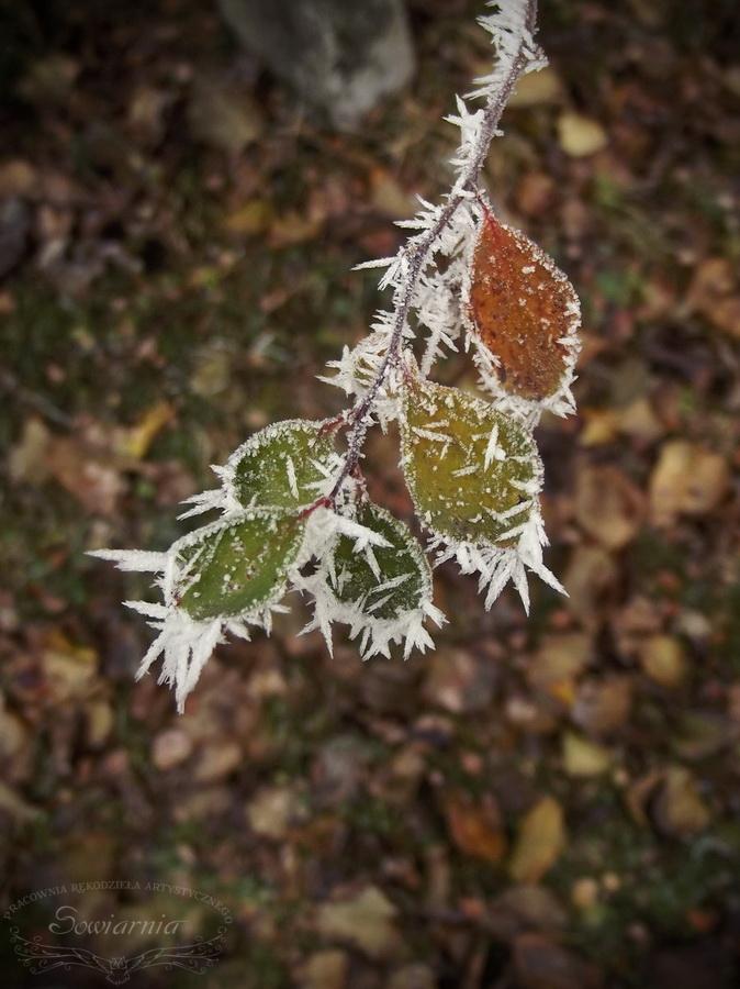 oszronione liście