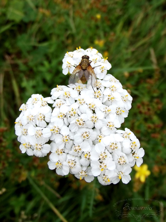 mucha na kwiatach