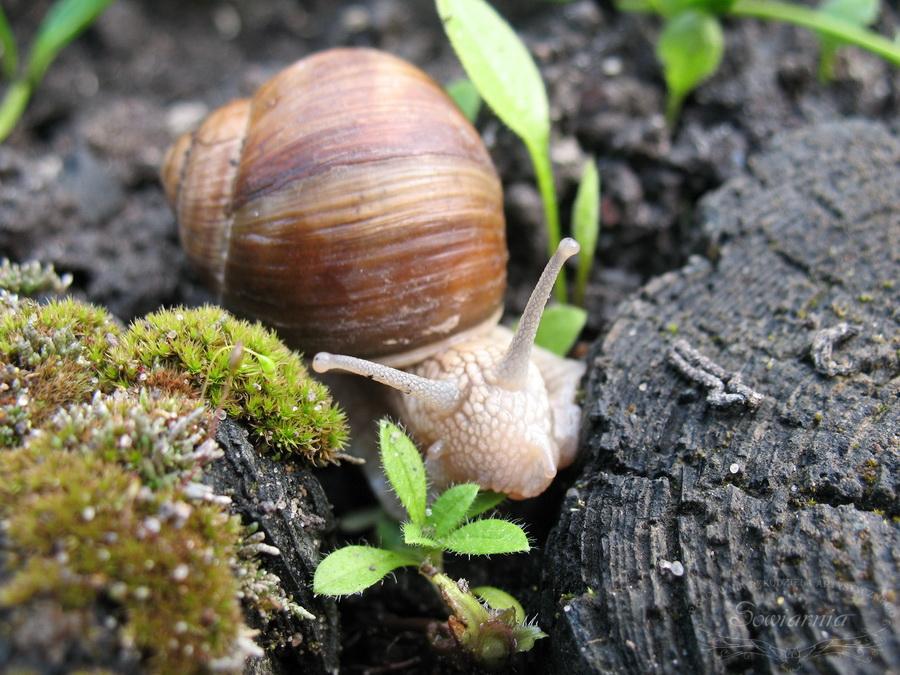 ślimak winniczek (Helix pomatia)