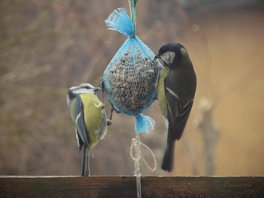 kula tłuszczowa dla ptaków