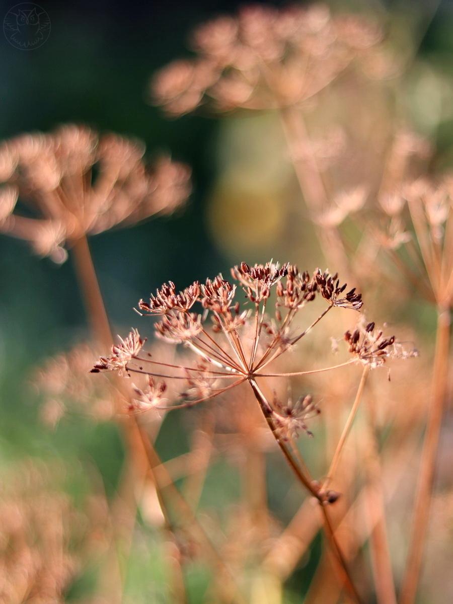 Marchew zwyczajna (Daucus carota L.)
