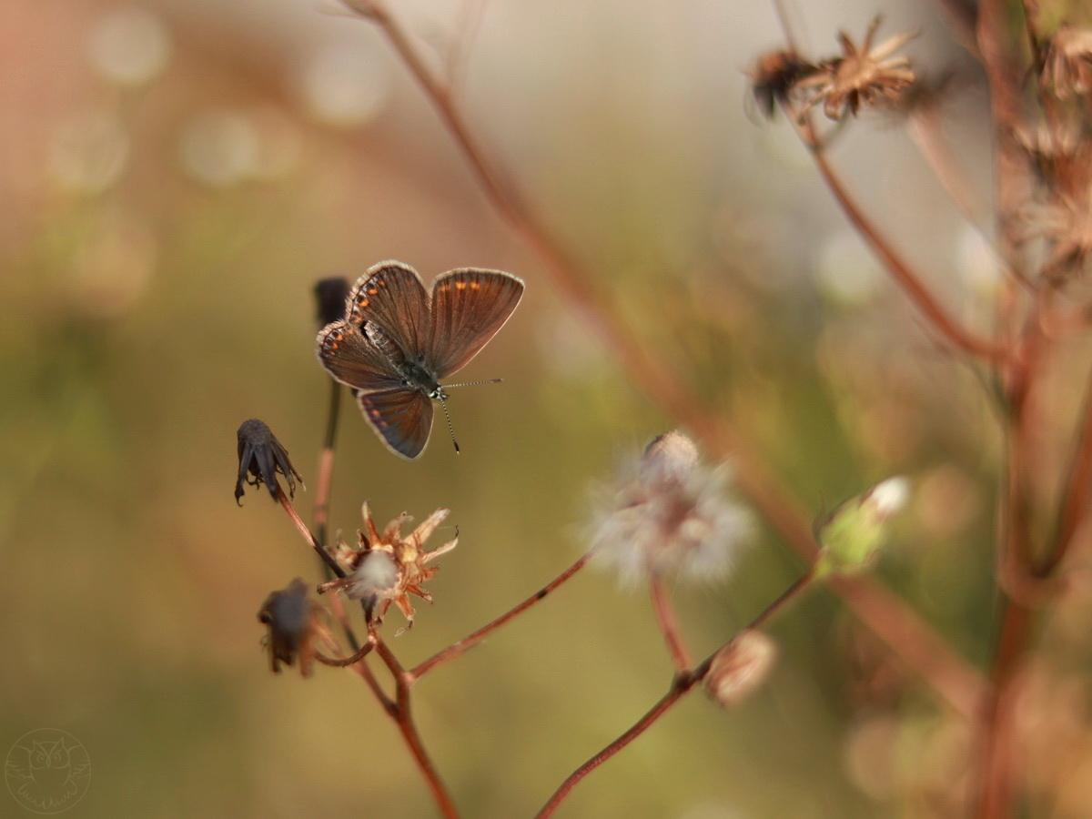 górówka motyl