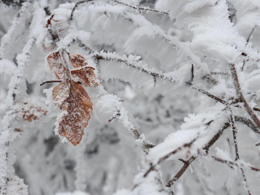 zaśnieżone gałązki