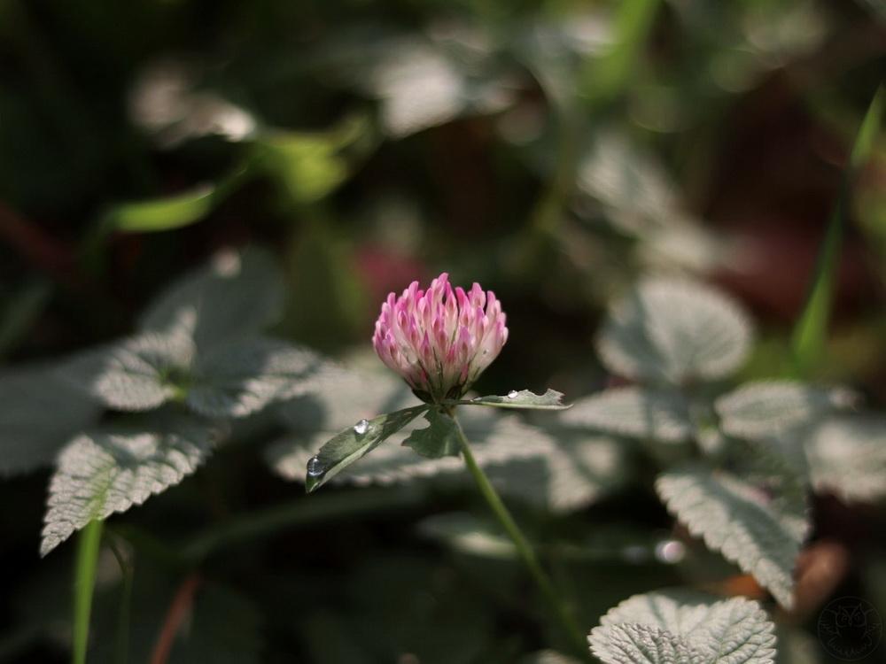 koniczyna kwiat