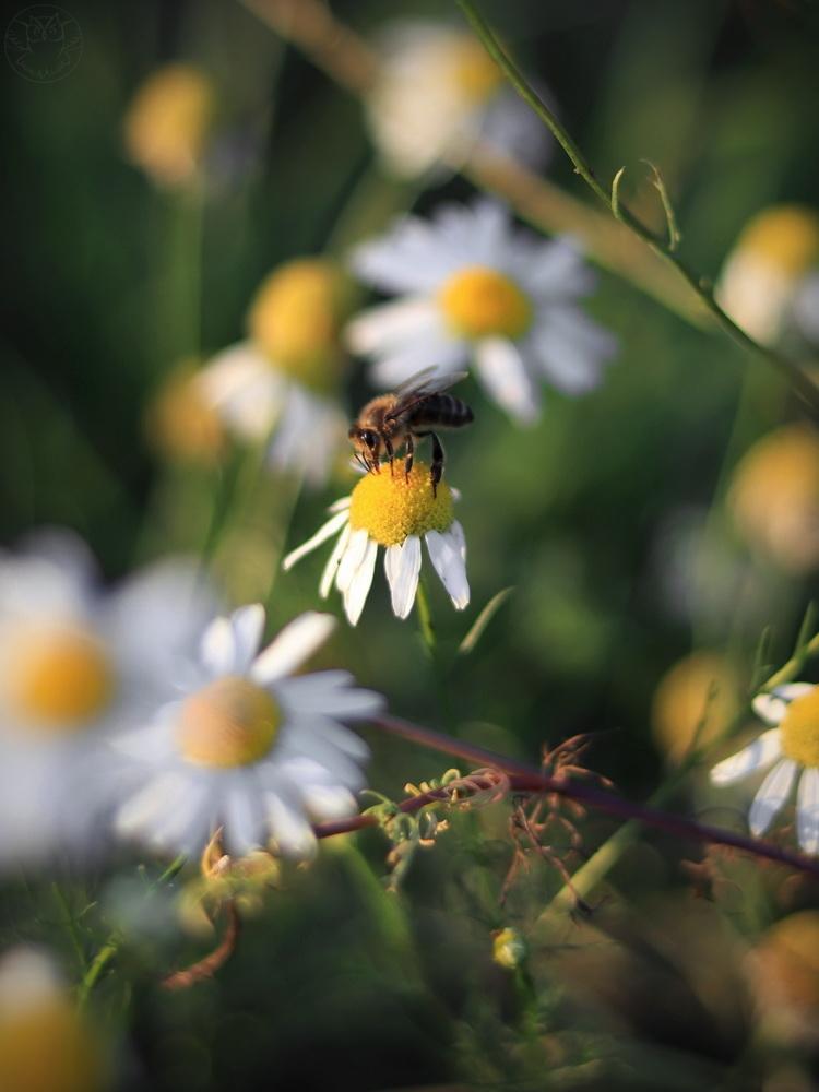pszczoła miodna i kwiaty